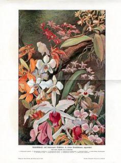 C1900 Orchids Orchid Flowers Antique Litho Print H Kraemer