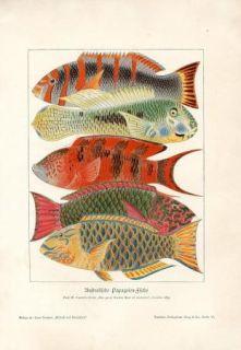 Australian Exotic Fish Parrotfish Antique Litho Print H Kraemer