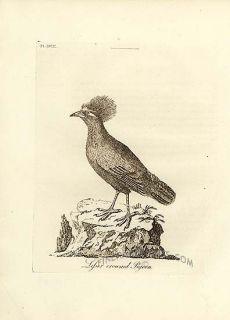Latham 1785 Antique Bird Print Lesser Crowned Pigeon