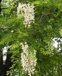 Beautiful Black Locust Tree Fresh Seed