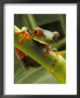 Red eyed Tree Frog, Costa Rica Pre made Frame