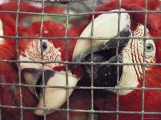 Caged Macaws Will Be Exported for the Illegal Pet Trade Photographic Print by Bill Curtsinger