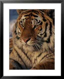 A close view of a proud Siberian tiger Pre made Frame