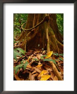 Root Buttress in Jungle on the Osa Peninsula, Corcovado National Park, Puntarenas, Costa Rica Pre made Frame