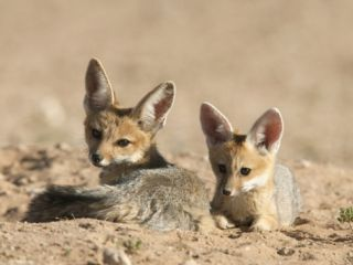 Cape Fox (Vulpes Chama) Cubs, Kgalagadi Transfrontier Park, Northern Cape, South Africa, Africa Photographic Print