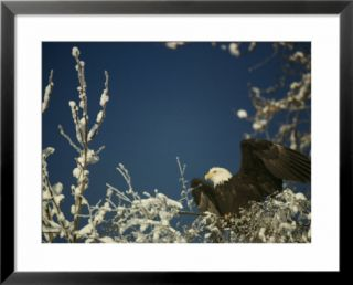 Bald eagle on snow covered tree Pre made Frame