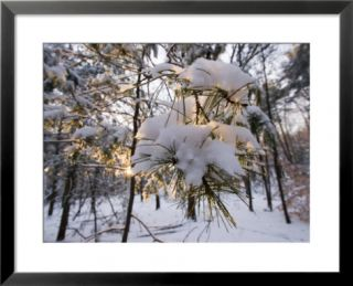 Fresh Snow Covers Trees in the Woods, Lexington, Massachusetts Pre made Frame