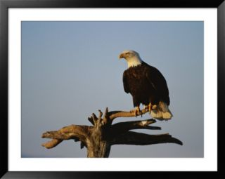 American Bald Eagle Perches on a Dead Tree Branch Pre made Frame