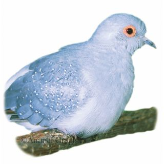 Diamond Dove   Bird   Live Pet