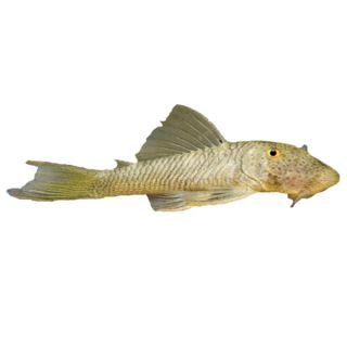 Rubber Lip Pleco   Tropical   Fish