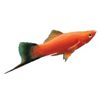 Velvet Wag Swordtail   Tropical   Fish