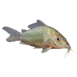Hypsophrys nicaraguensis macaw cichlid live fish for Live fish for sale