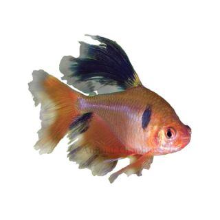 Long Fin Red Minor Tetra   Tropical   Fish