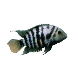 Black Convict Cichlid   Fish   Live Pet