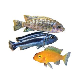 Assorted African Cichlids   Fish   Live Pet