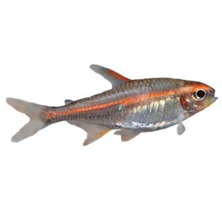 Aquarium fish live fish for sale for Aquarium fish for sale online