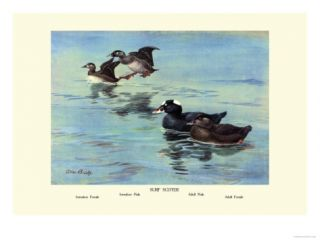 Surf Scoter Ducks Prints by Allan Brooks