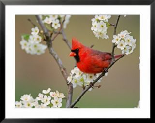 Male Northern Cardinal Among Pear Tree Blossoms, Kentucky Posters by Adam Jones
