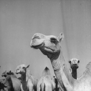 Camels Being Sold at Animal Market Photographic Print by Bob Landry