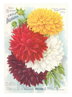 Seed Packet, Dahlias Posters