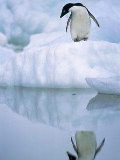 Adelie Penguin on Ice Floe Photographic Print by Theo Allofs