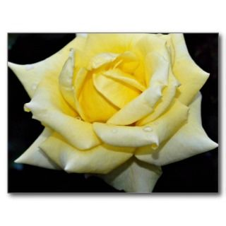 Hybrid Tea Rose Helmut Schmidt White flowers Postcards