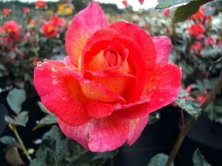 Edelrose Parfum de Grasse ® Adavorjap ® Kräftige Containerrosen 7,5