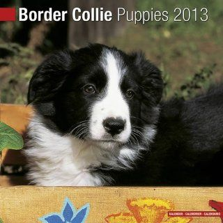 Border Collie Puppies 2013 Wall Calendar 12 X 12