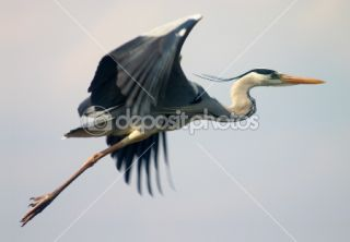 Flying heron bird  Stock Photo © Maksym Gorpeniuk #1507303
