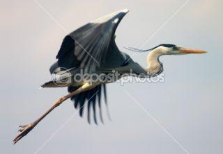Flying heron bird  Stock Photo © Maksym Gorpeniuk #1507303